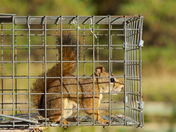 The Sinister Signs A Squirrel Is Calling Your Attic Home And How To Evict It Squirrel Wildlife Pest Control