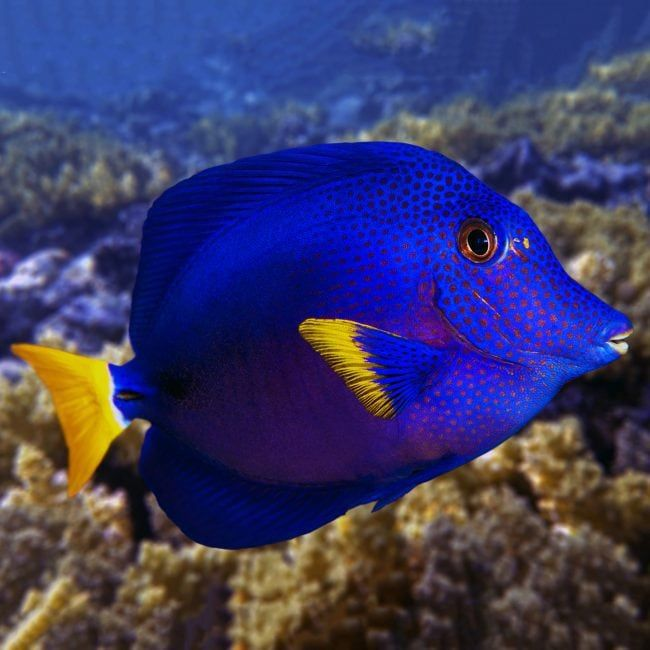 Purple Tang Zebrasoma Xanthurum Saltwater Aquarium Fish Tang Fish
