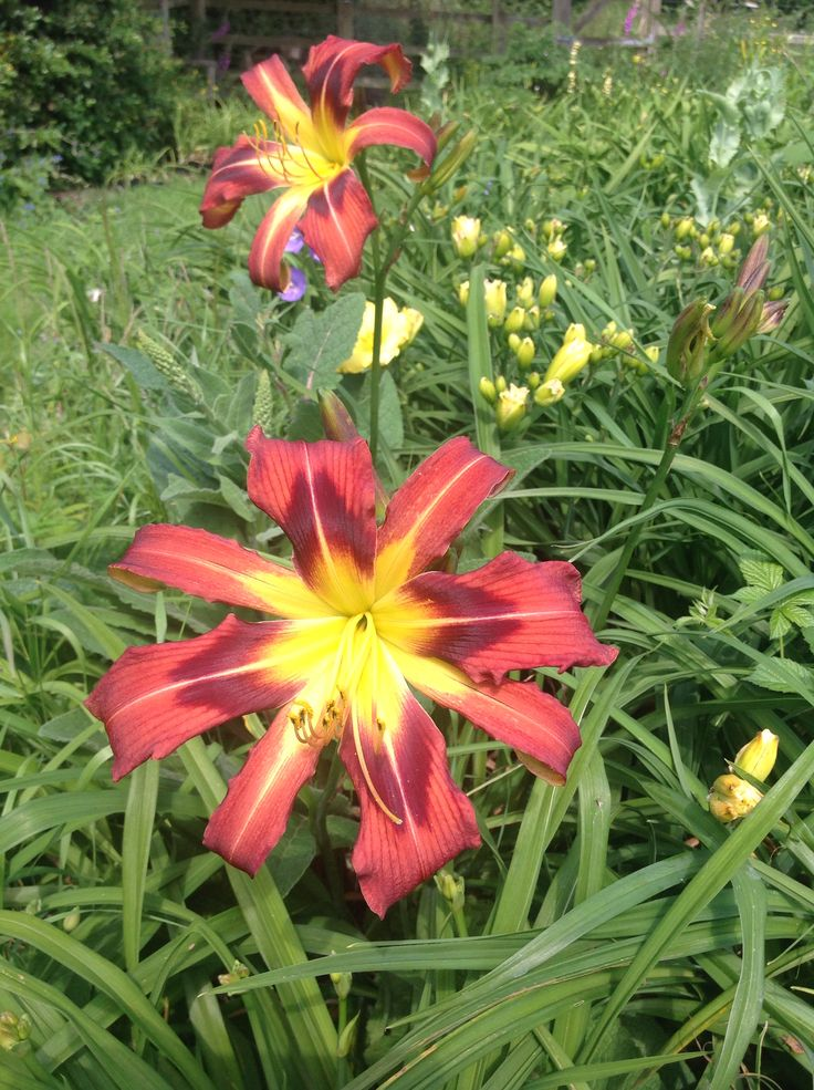Daylily ginger swallowtail with extra segments today day