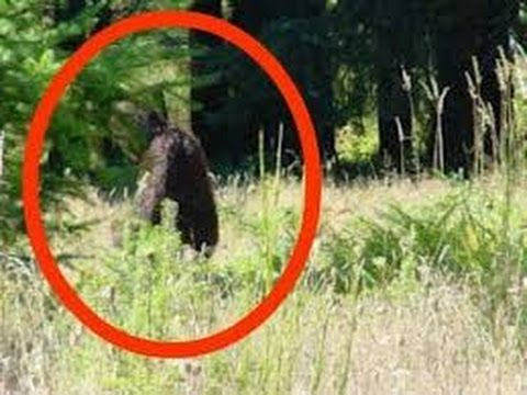 Bigfoot 2015 Real Proof of Bigfoot Caught on Camera july 2015...Awesome 30min