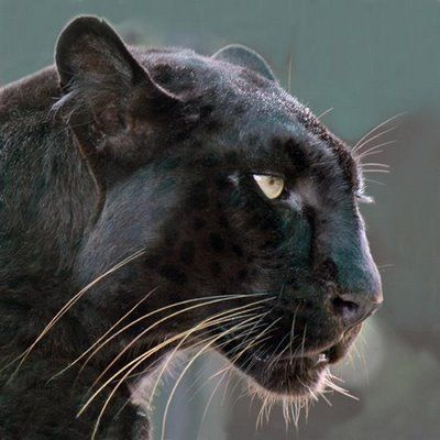 The typical leopard markings are still present in black leopards, but are hidden by the excess black pigment melanin. Melanistic cats may have non-melanistic siblings.  It is thought that melanism may confer a selective advantage under certain conditions since it is more common in regions of dense forest, where light levels are lower. Recent, preliminary studies also suggest that melanism might be linked to beneficial mutations in the immune system.