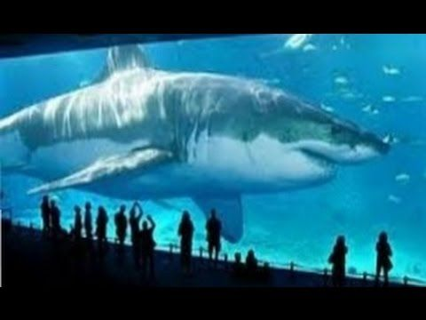 Biggest Megalodon Shark In The World | www.pixshark.com ...