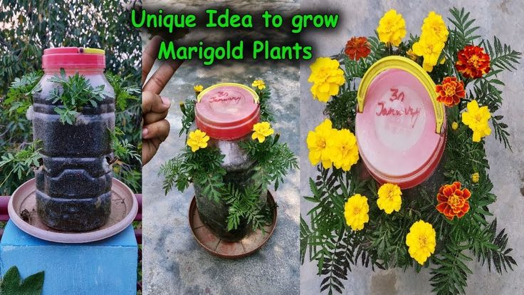 Best and Unique Method to grow Multiple Marigold Plants in