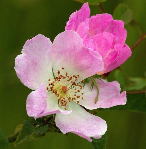 Dog Roses (Rosa canina)