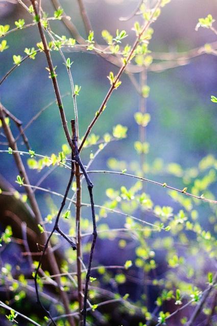 twigs: Words Photography, Buds Trueandco, Nature Gardens, Springtime Gardening, Trueandco Truespring, Spring Buds, Spring Forår Easter Påske, Spring Easter, Baby Leaves