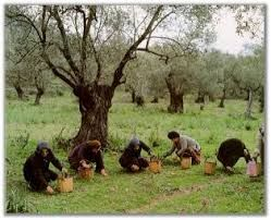 People gathering the olives from under the trees