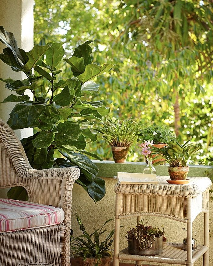 Fiddle leaf fig on Michelle's porch; Gardenista