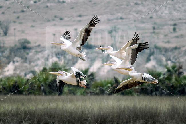 Bando de Pelicanos em pleno voo na Praia de Santiago em Cacuaco, provincia do Bengo, perto da Barra do Dande, Angola
