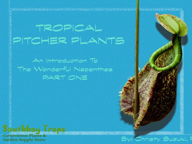 Tropical Pitcher Plants | An Introduction To The Wonderful Nepenthes Part One Hi Everybody! We hope you enjoy this slide share that introduces you to Nepenthes AKA Tropical Pitcher Plants. This is PART ONE of many more parts to come :-) #nepenthes, #carnivorousplants, #Tropicalpitcherplants, #botany, #rareplants, #uniqueplants, #garden, #grow, #educational, #slideshare, #ppp, #partone, #southbaytraps