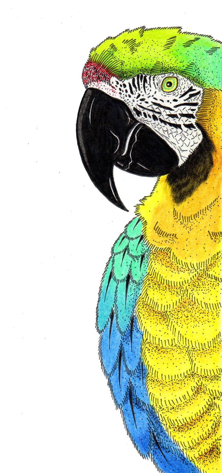 macaw two - ilustration - color