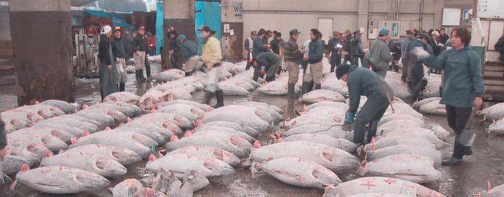 Afbeeldingsresultaat voor grootste tonijn