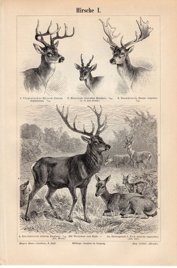 1894 Antique Deer Print, Deers, Cervidae, Virginia deer, Barking Deer, Fallow Deer, Red deer, Cervus, Reindeer, Caribou, Moose, Elk