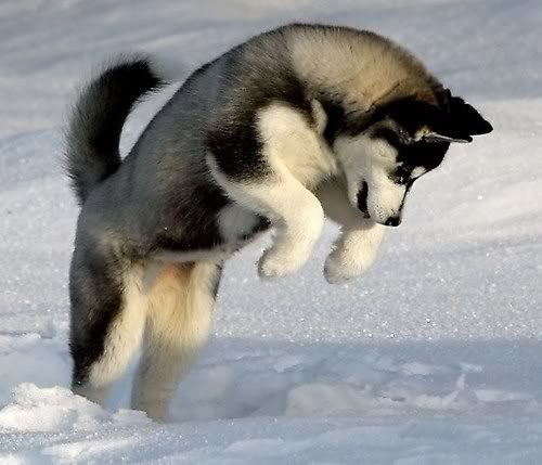 Favorite pet; Siberian Husky They're perfect end of story. husky dogs animals