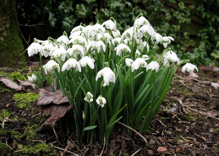 Galanthus nivalis 'Flore Pleno' (entrance bed) - for flowers in late winter/early spring