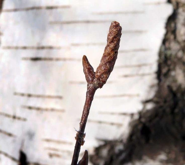 Rauduskoivu, Betula pendula - Puut ja pensaat - LuontoPortti