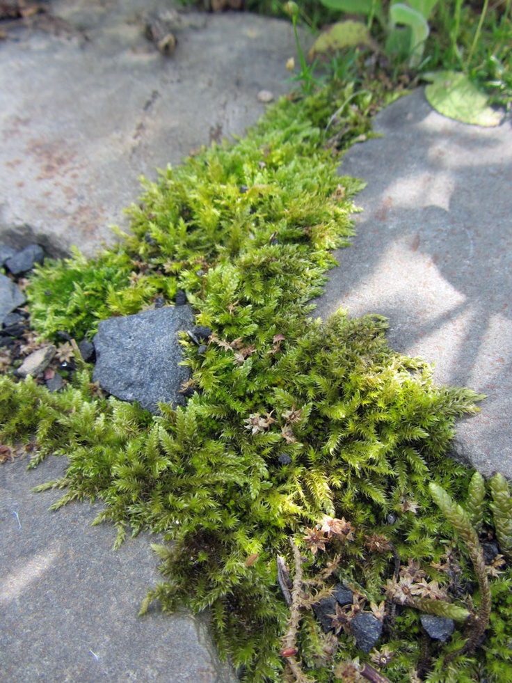 Irish moss - Sternmoos