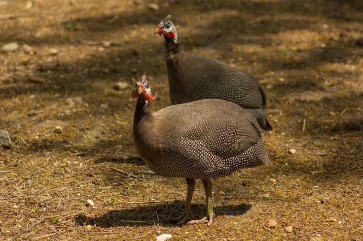 Gyöngytyúk. Guinea fowl.