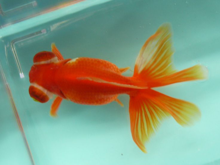 17 best images about beautiful goldfish and koi on for Beautiful koi for sale