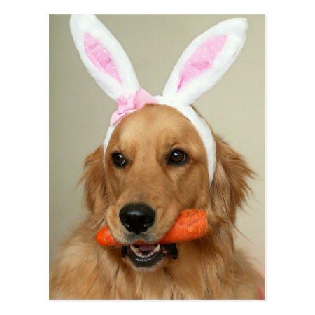 SIlly Golden Retriever dog with Easter Bunny ears Postcard - tap to personalize and get yours