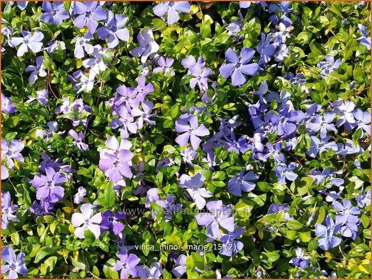Kleine maagdenpalm, Maagdenpalm  |  Blauw  |  April - Mei  |  ± 10 cm  |  Zon, Halfschaduw, Schaduw  |  Normaal  |  Pot 9 cm