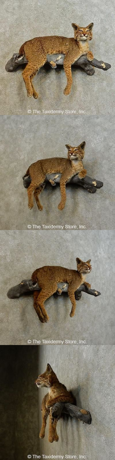 Small Animals 71129: #16523 E+ | Bobcat Life-Size Taxidermy Mount For Sale -> BUY IT NOW ONLY: $1350 on eBay!