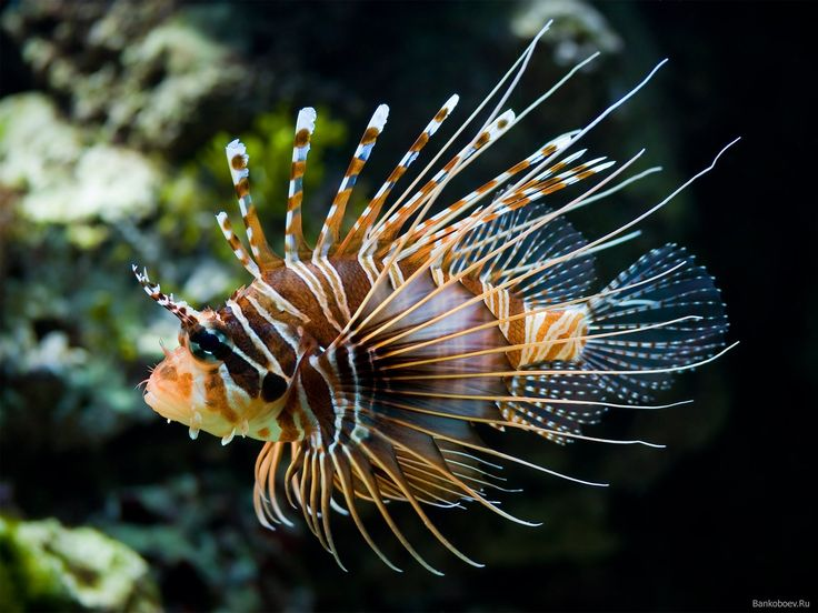 .Lionfish: Lionfish, Underwater Animal, Lion Fish, Tropical Fish, Desktop Backgrounds, Exotic Fish, Underwater World, Colors Fish