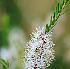 Botanical Name: Melaleuca cajeputi       Main Constituents:   1,8-Cineole: 76.58%       Plant Part: Leaves and Twigs       Origin: Indonesia       Processing Method: Steam Distilled       Description / Color / Consistency: A thin, colorless to pale yellow clear liquid.       Aromatic Summary / Note / Strength of Aroma: Cajeput Essential Oil has a fresh, camphorous aroma resembling the combined fragrances of camphor, rosemary, and cardamom, with a slight fruity note; a middle note with a…