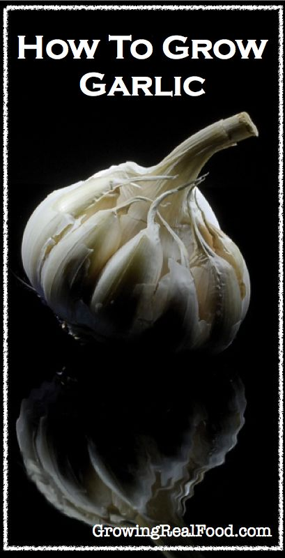 how to grow garlic gardening i 39 ll be in the garden pinterest. Black Bedroom Furniture Sets. Home Design Ideas