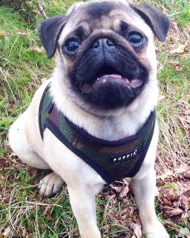 Puppia Camo Step In Harness Jacket Available At Www Ilovepugs Co