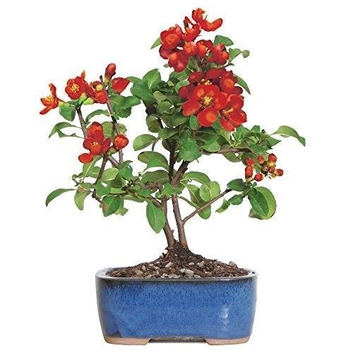 Bonsai Japanese Tree Red Quince Plant Flowers Bloom Hooseplant 3 Years Best Gift #BonsaiJapaneseTree