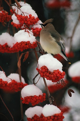 Cedar Waxwing on Snowy Mountain Ash Berries - Montana