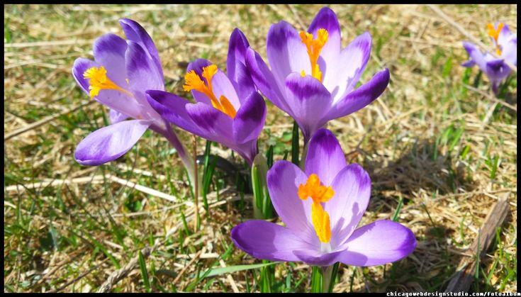 #Tatry #Tatra #Mountains #Poland #Polska #krokusy #crocuses #krokus #wiosna #spring #krajobrazy #góry #flower #kwiaty #flowers #Zakopane #Dolina #Chochołowska #landscape #photography