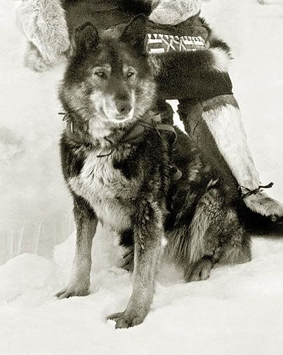 Togo (1913-1929) was the sled dog  who led Leonhard Seppala and his dog sled team as they covered the longest distance in the 1925 relay of diphtheria  antitoxin  from Anchorage to Nome, Alaska, to combat an outbreak of the disease. The run is commemorated by the annual Iditarod dog sled race. Togo, a Siberian Husky, weighed about 48 pounds and was twelve years old.