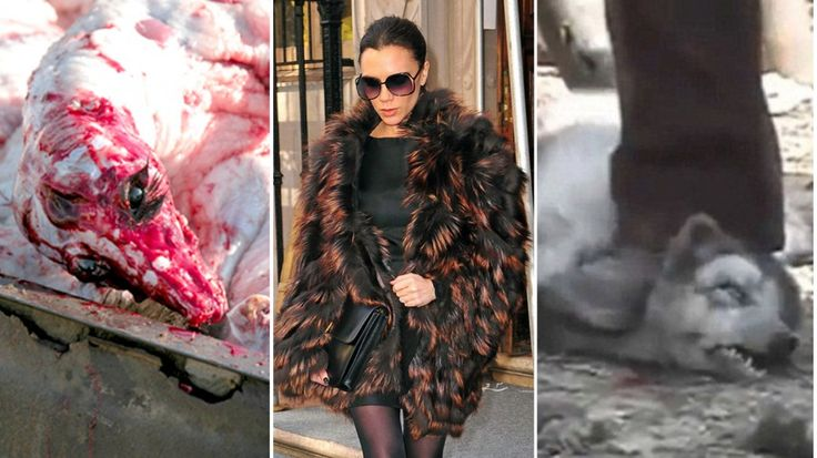 Animals are skinned while still conscious, DIE in utter pain, but Victoria Beckham doesn't care!