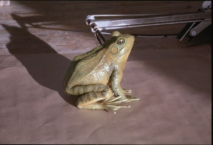80 best images about asylum 39 s wonderful creatures for Frog transformation