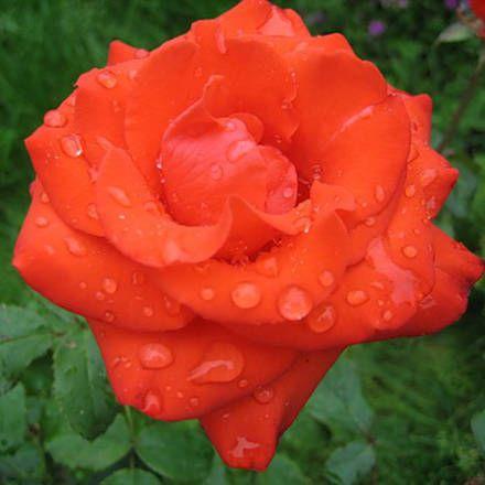 Оранжевые розы чайно-гибридные,купить розы,оранжевые розы купить,сорта роз,оранжевые розы сорта,кустовые розы,саженцы роз купить,розы для сада,питомник роз