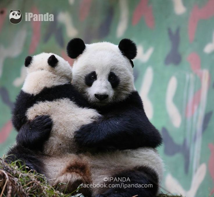 the giant panda a soon The paperback of the a book for kids about pandas: the giant panda bear by frances york at barnes & noble free shipping on $250 or more  coming soon pre-order.