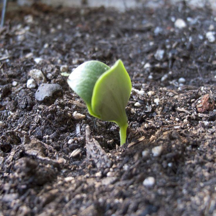 Die Besten 17 Ideen Zu Rübsen Auf Pinterest | Geißblatt Tattoo ... Pflanzen Kultivieren Aromatische Gewurze Garten