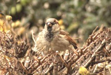 sparrow-on-a-nest