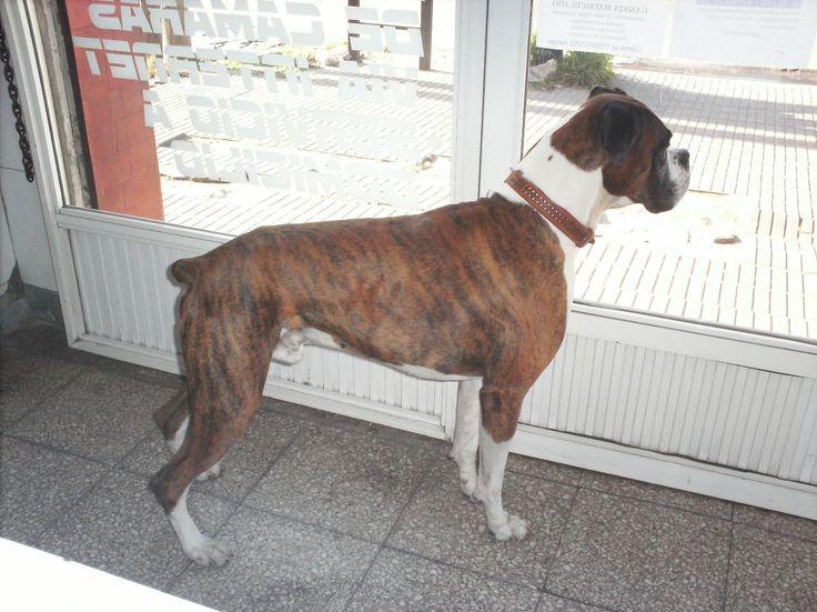 Boxer Atigrado
