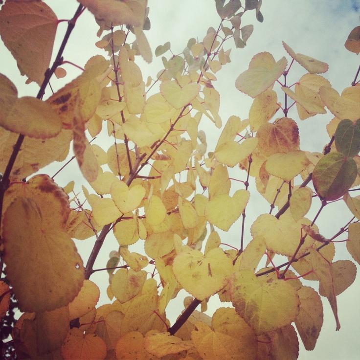 Efterårsfavorit: Hjertetræ...allé langs vejen