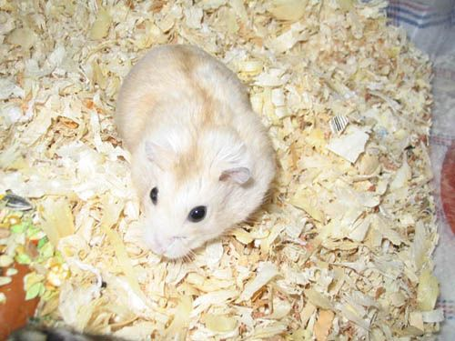 hamster breeds   hamster breed...? - The Different Species - Hamster Hideout Forum