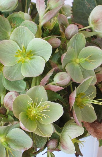 Hellebores :: they're beautiful, refined, long-lasting, frost-resistant and…