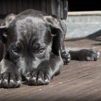 #dogalize Malattie del cane Corso: quali sono le più diffuse? #dogs #cats #pets