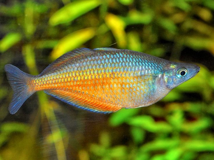 445 best images about aquarium fish on pinterest african for Tropical rainbow fish