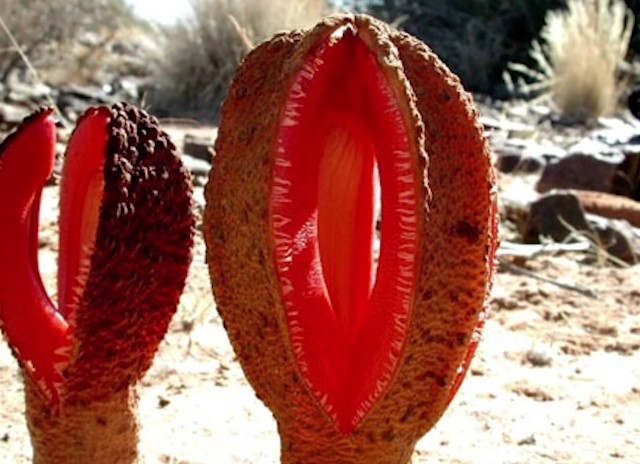 The plant Hydnora africana is a parasite that smells foul... and that's not even the weirdest thing about it...   Hydnora africana is an achlorophyllous plant in the family Hydnoraceae, native to southern Africa that is parasitic on the roots of members of