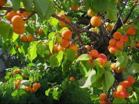 Посадка абрикос из косточки (3 часть) - YouTube
