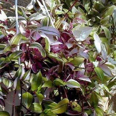Tradescantia Also known as spider lily, this lovely ...