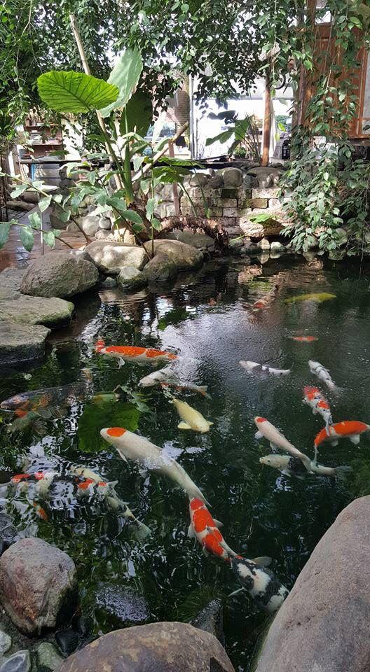 434 best Koi Fish images on Pinterest Fishing Nature and Aquarium