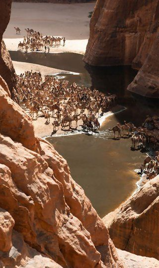 Camels in the Guelta d'Archei (Sahara),  Chad